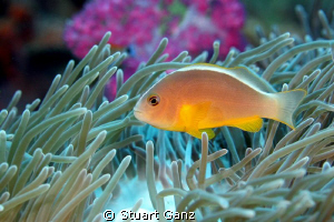 Clown Fish by Stuart Ganz 
